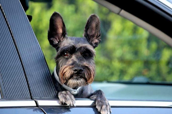 El transporte de mascotas en coche.